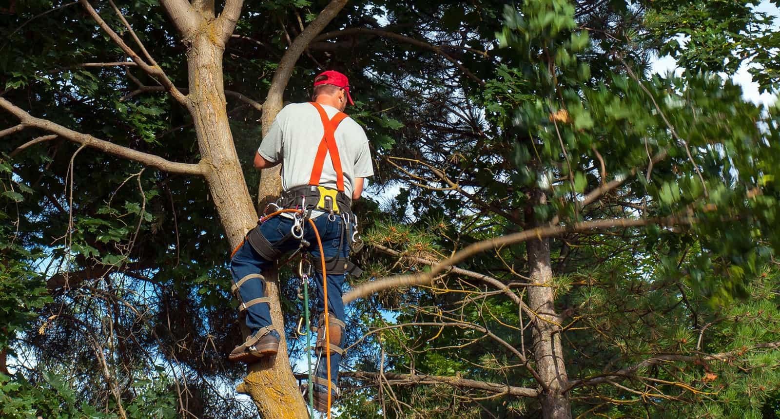 Arborist Cutting Down
