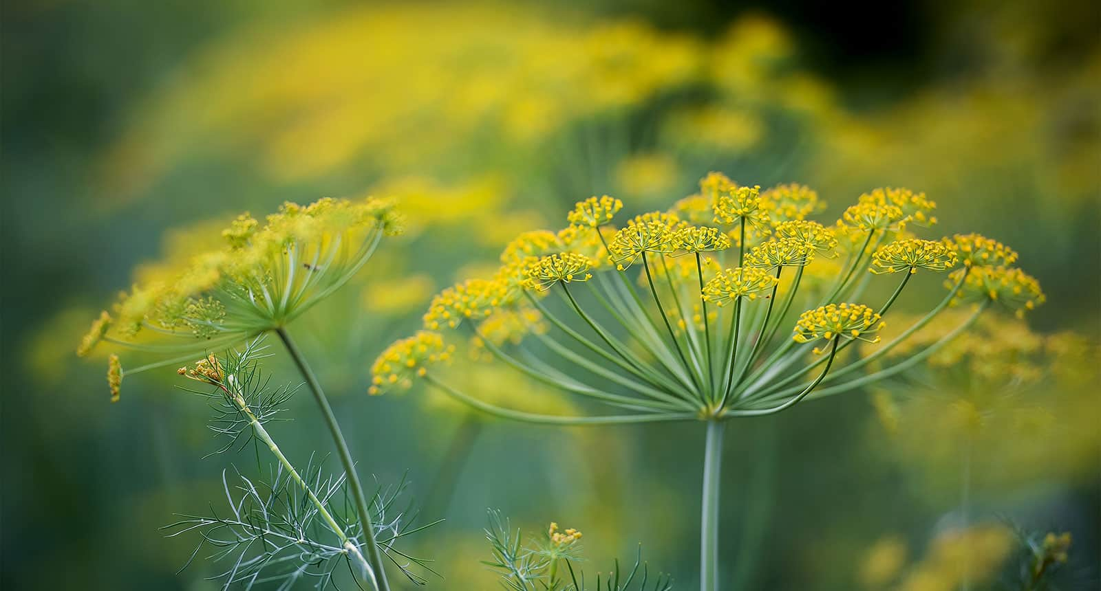 Dill Yellow Flowers