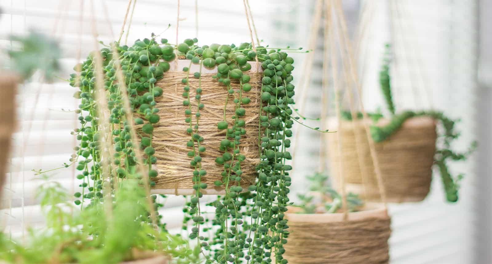Hanging Garden Succulent Plants