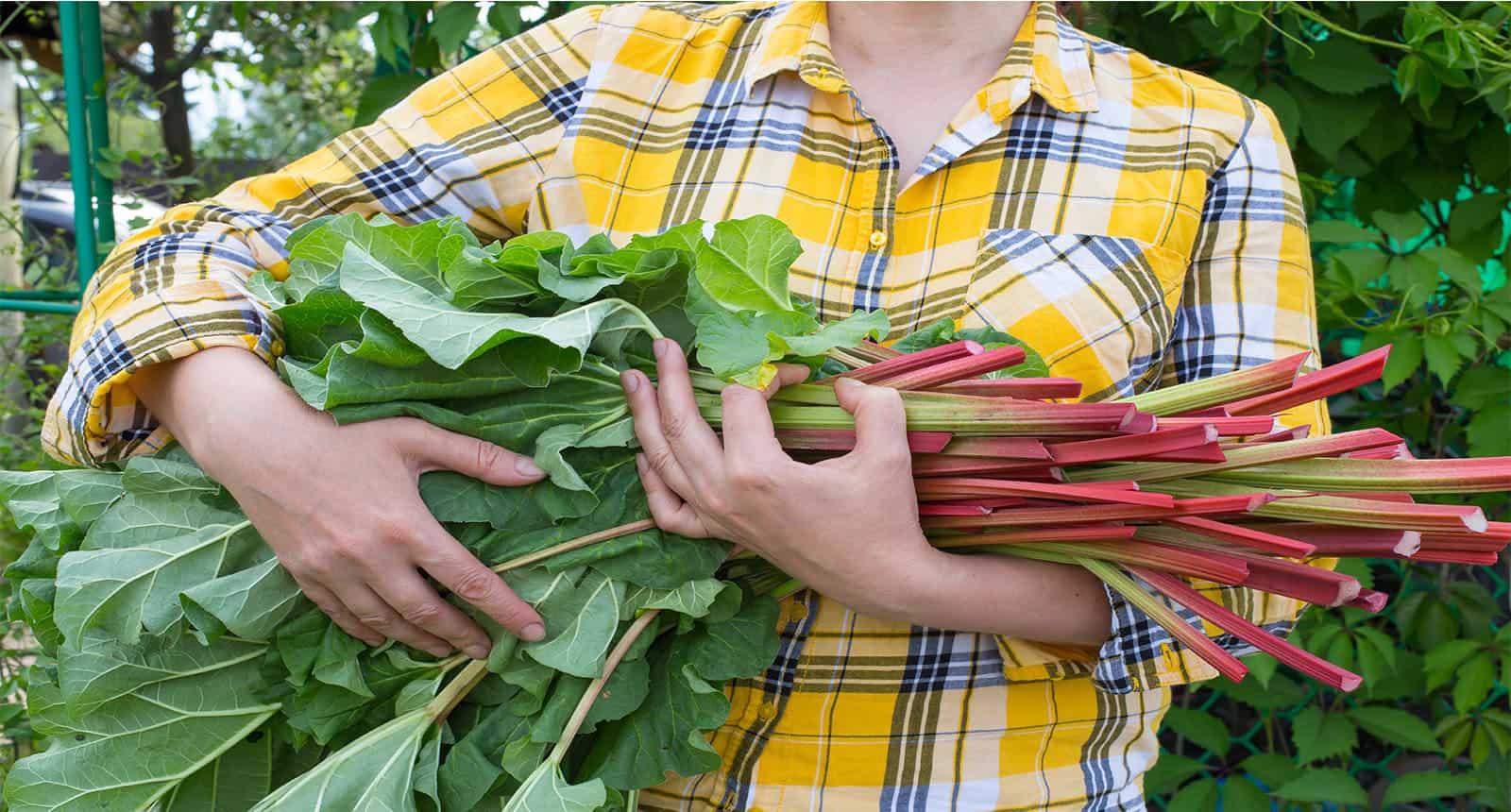 Hold Armful Cut Rhubarb