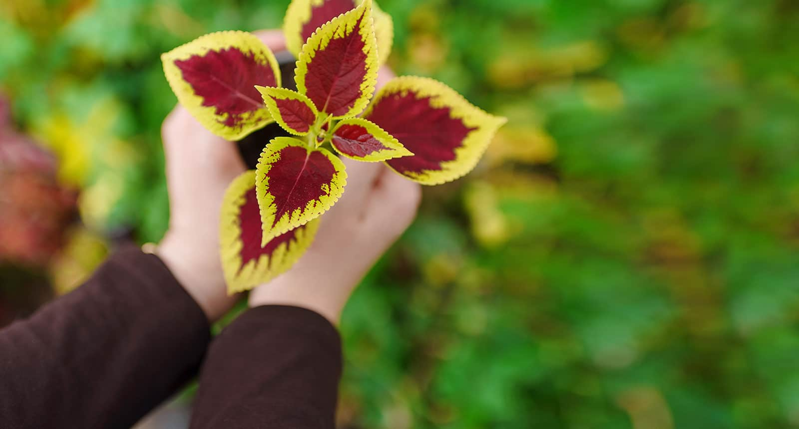Holding Plant Coleus