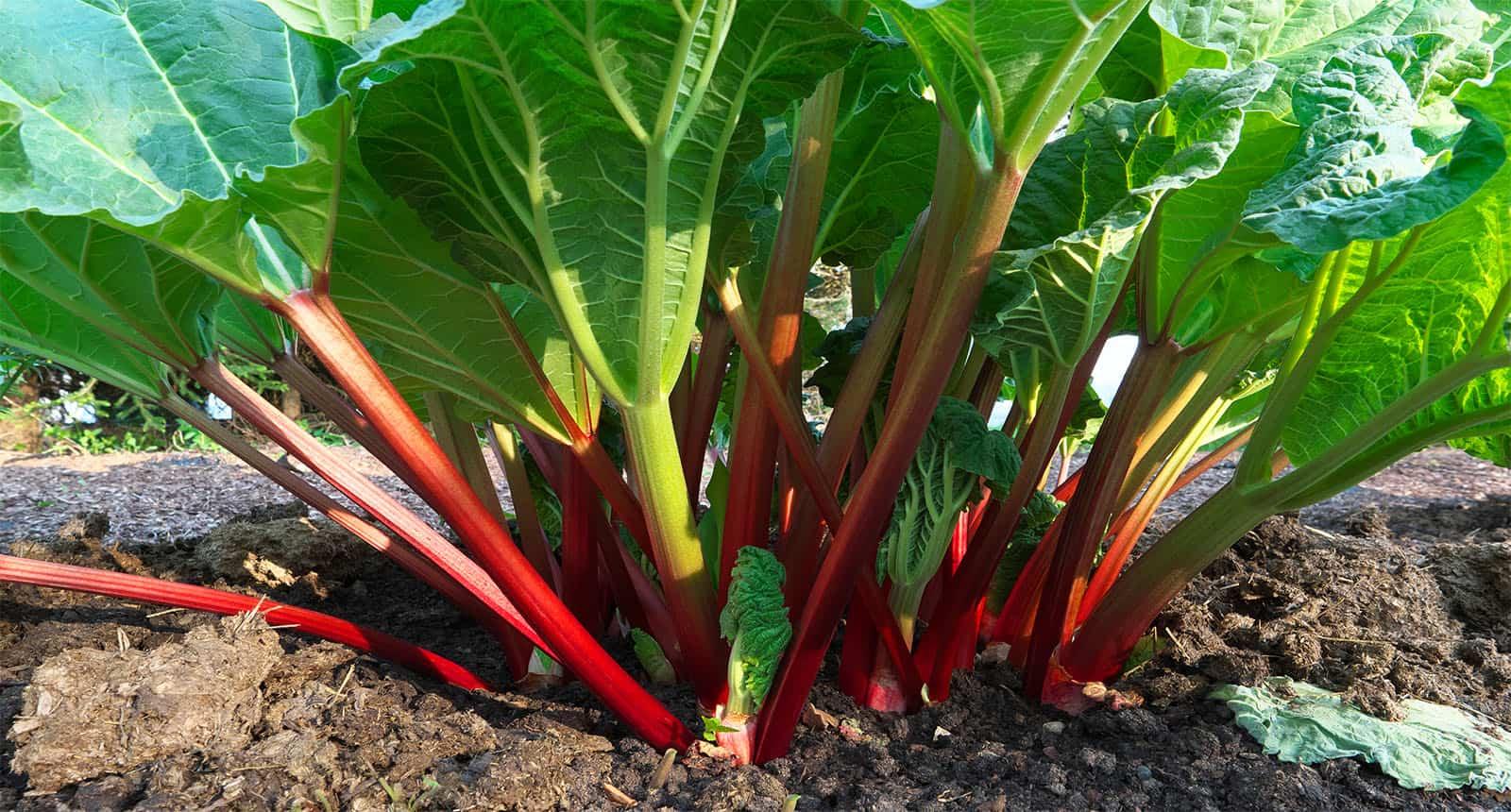 Rhubarb Growing Garden