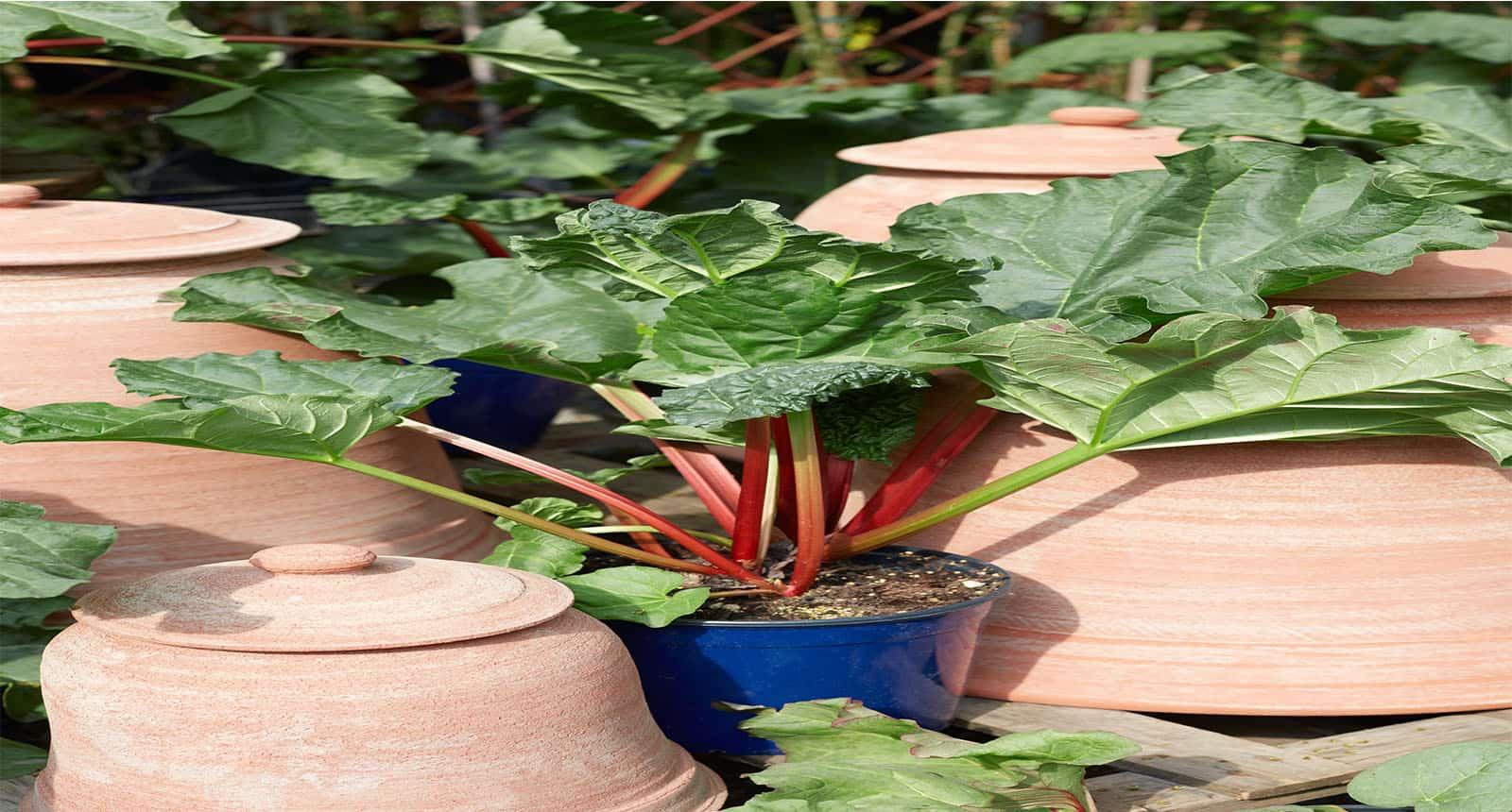 Rhubarb Rheum Palmatum