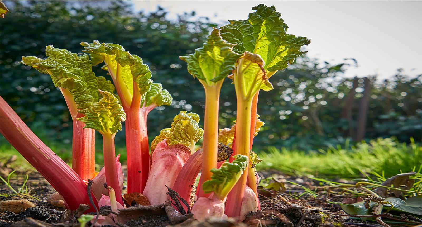 Rhubarb Shoots Sprouting Garden