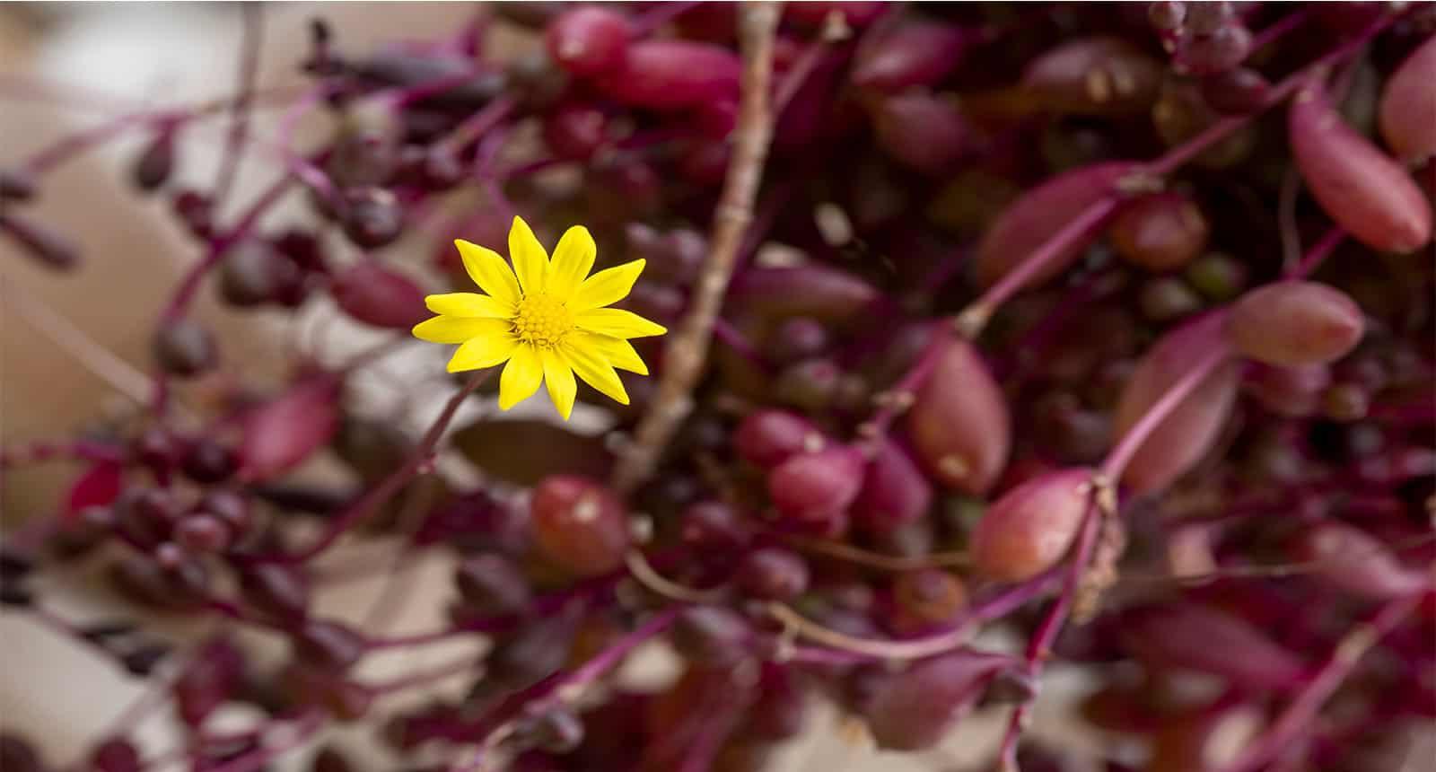 Ruby Necklace Succulent Plant