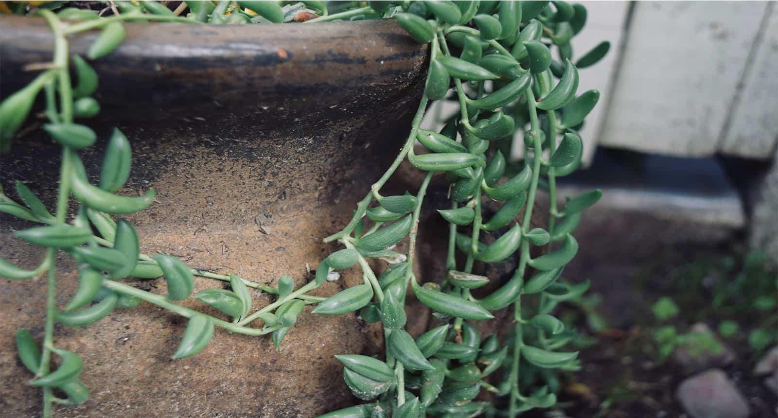 String Bananas Hanging Succulent