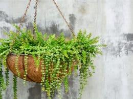 Succulent Hanging Plants