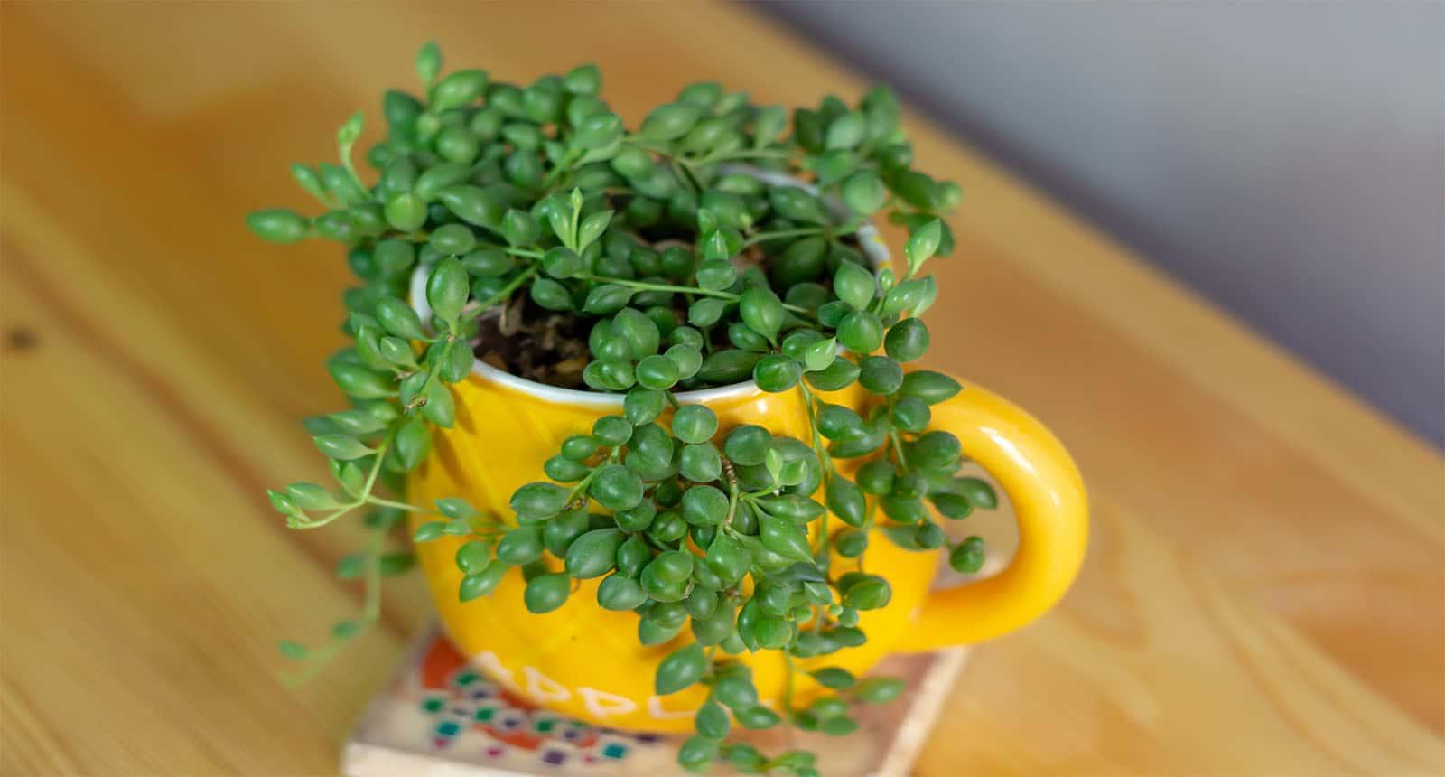 Succulent Yellow Cup Senecio