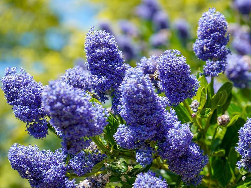 Californian Lilac Flowering