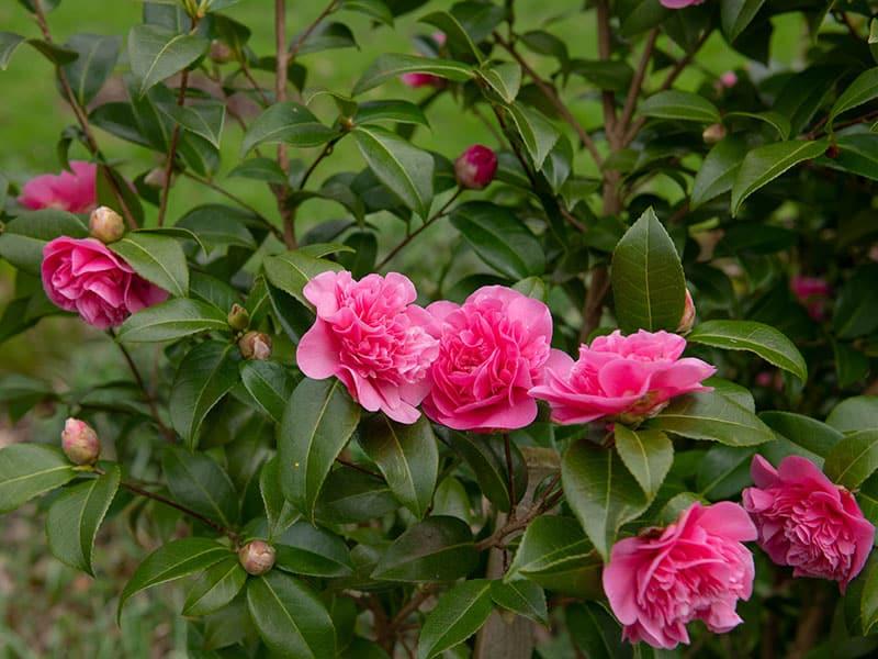 Camellia Shrub Sasanqua