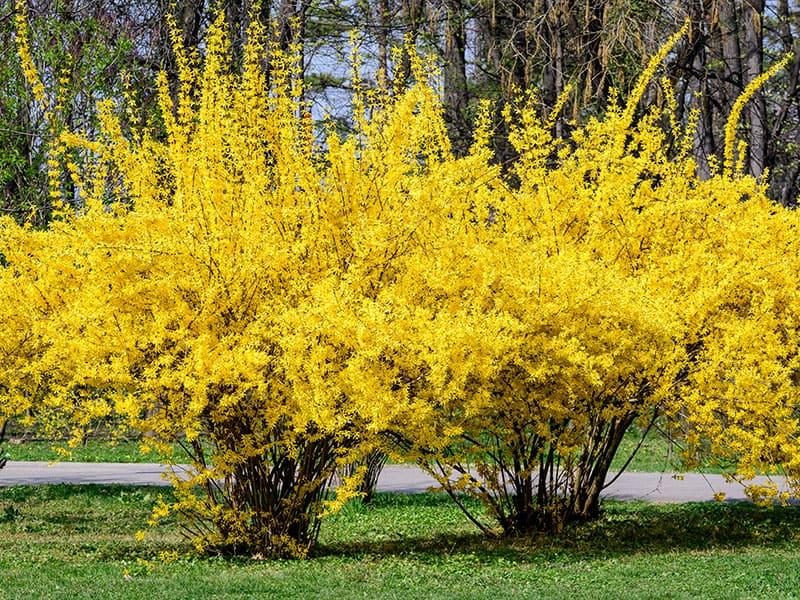 Flowers Forsythia Plant