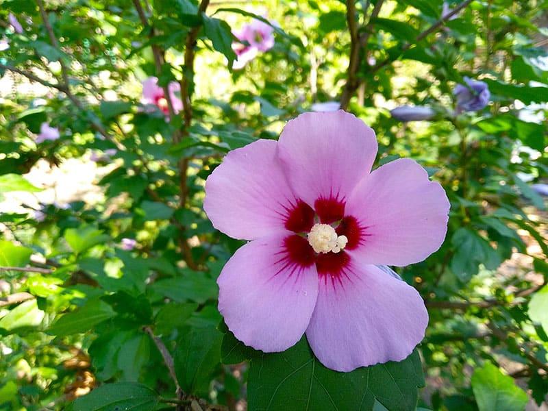 Hibiscus Syriacus Sharon Rose