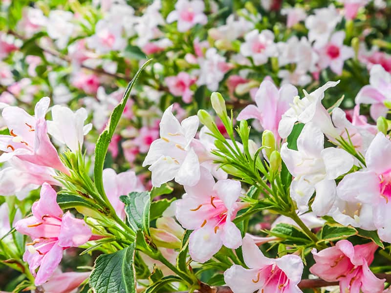 Pink Flowers Weigela