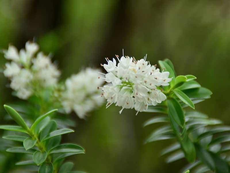 Summersweet Clethra Flower