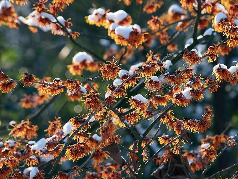 Winter Hazel